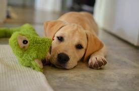 cucciolo di labrador1