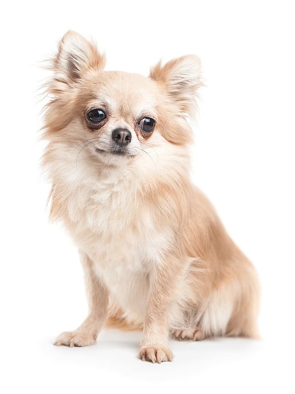 cane-chihuahua-pelo-lungo-alguinzaglio.it