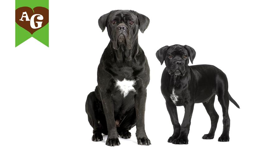 cane-corso-nero